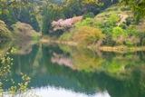 五桂池 桜.jpg