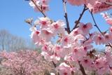 桃色の春.jpg