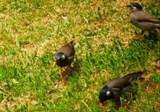 椋鳥.jpg